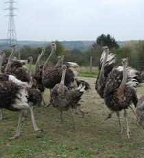 Struisvogelkwekerij van Doneu